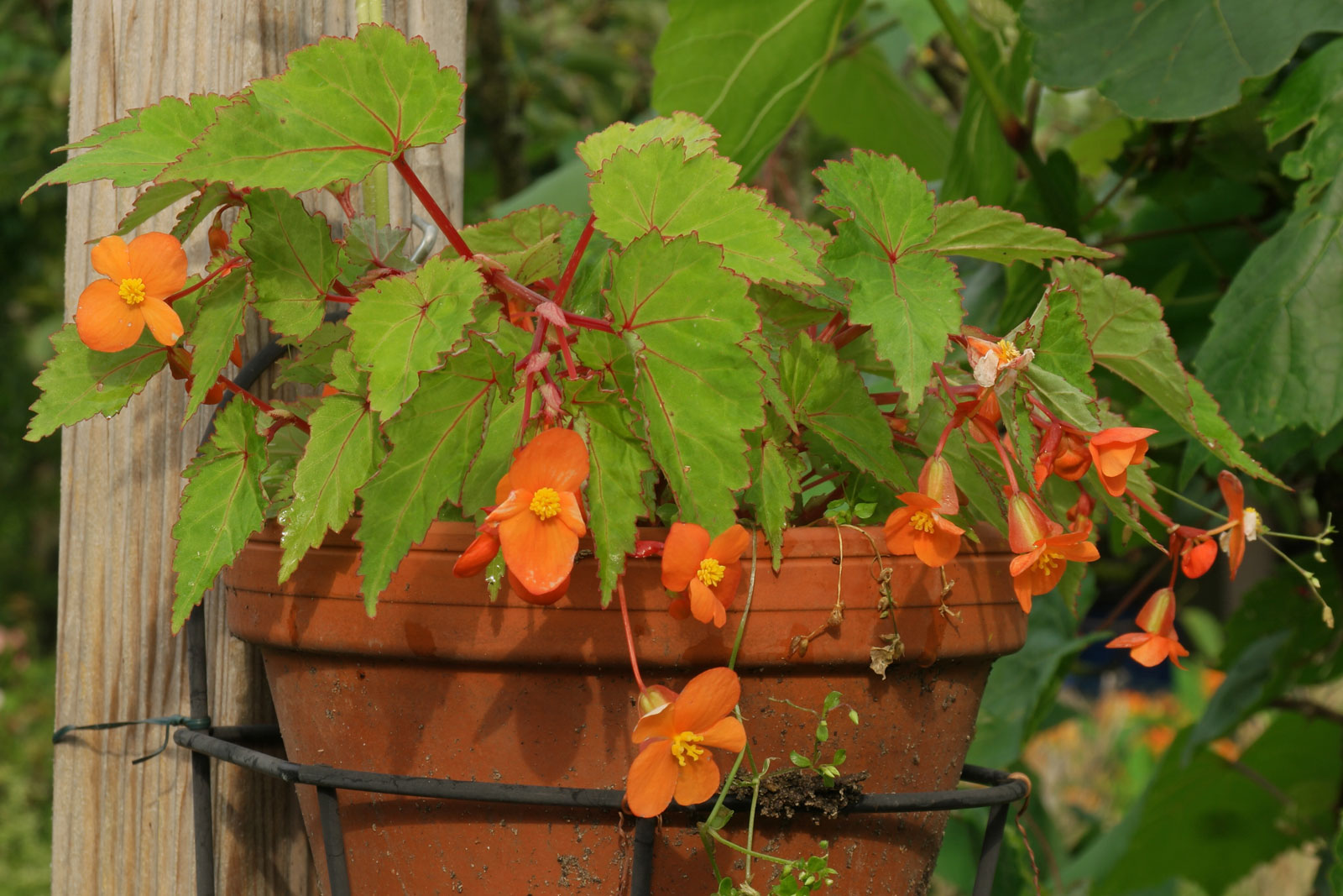 begonia-sutherlandii-1