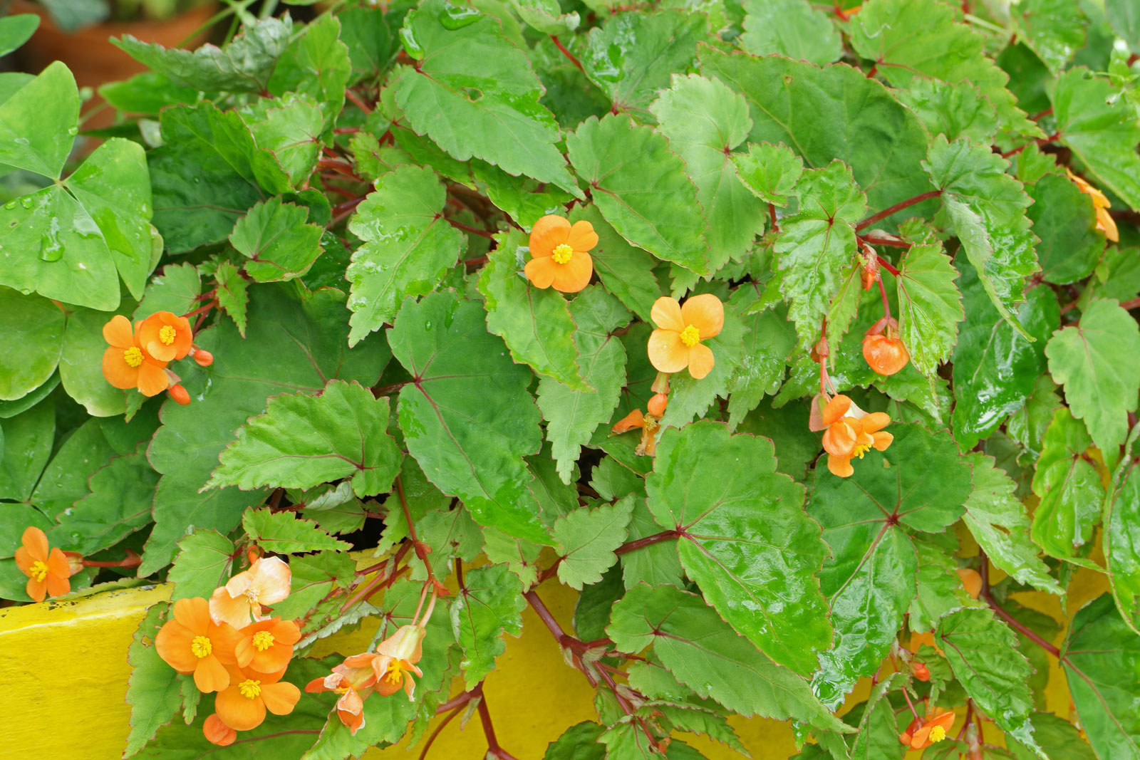 begonia-sutherlandii-2