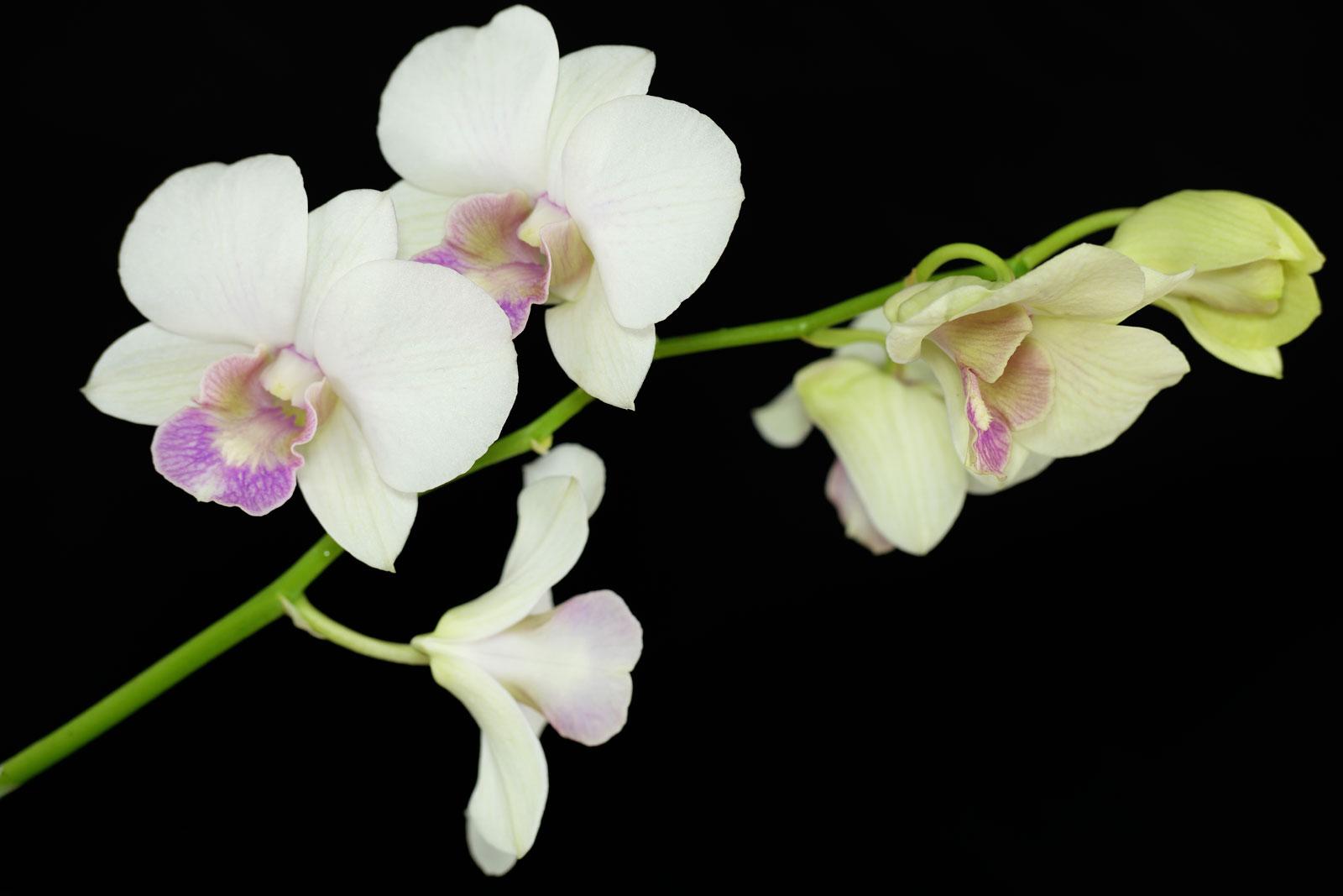 Dendrobium phalaenopsis