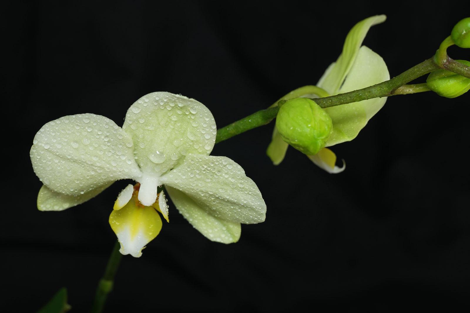 phalaenopsis-cv-1