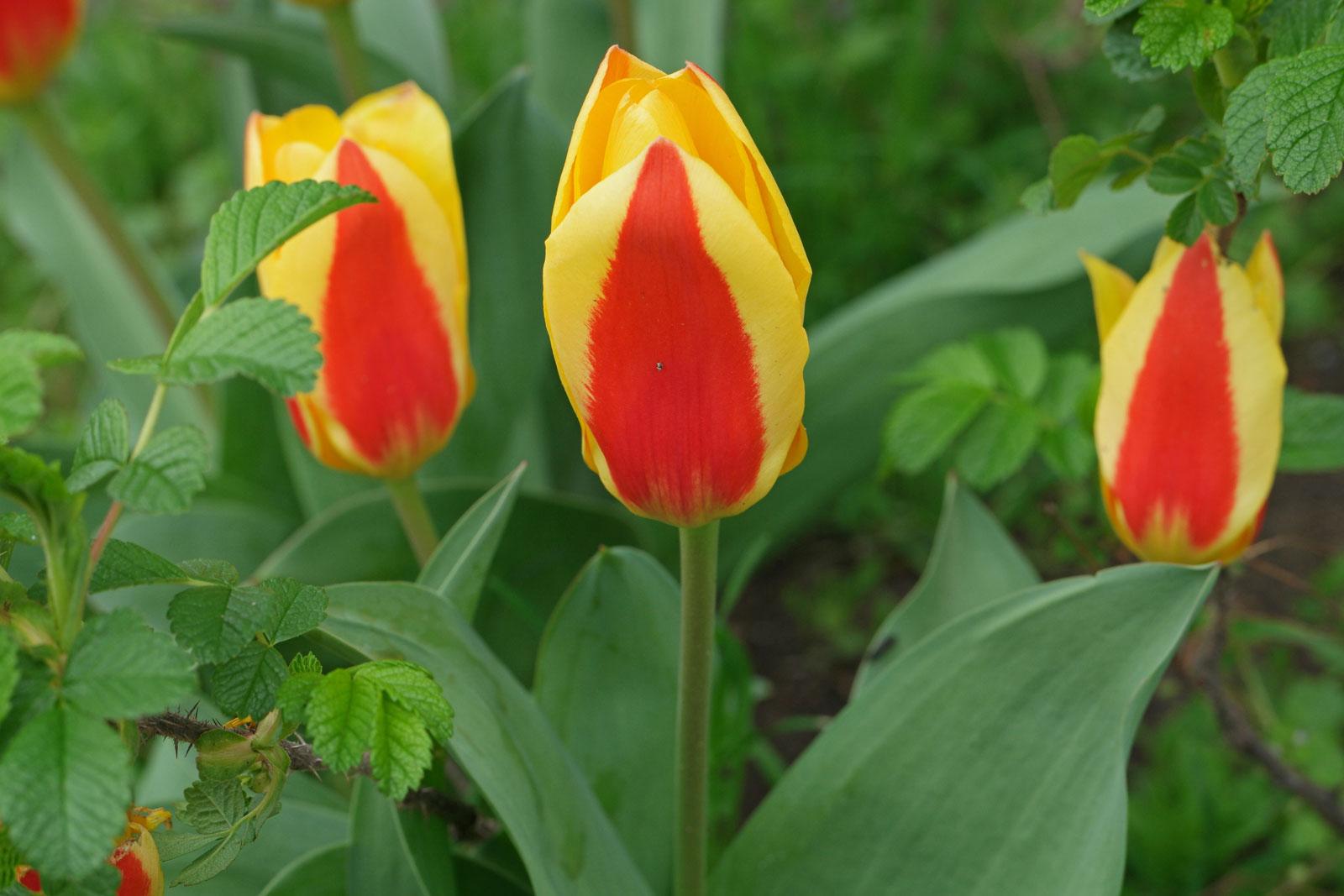 Tulipa kaufmanniana