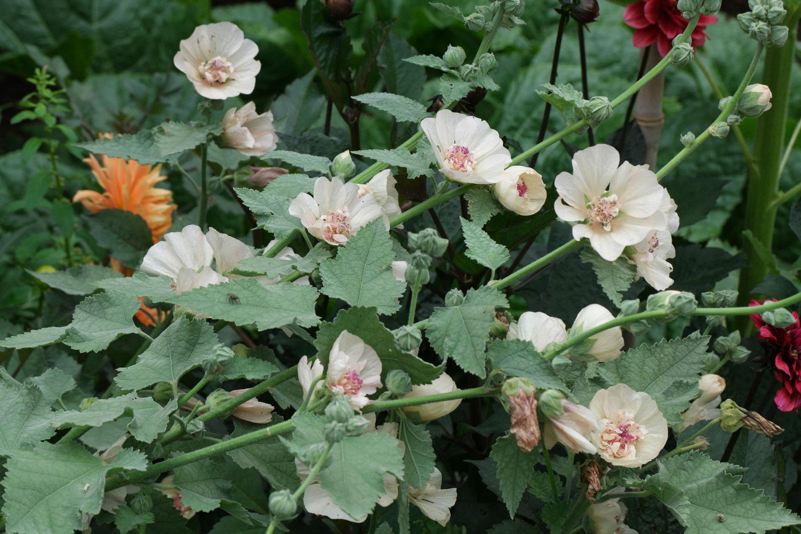 alcalthaea-suffrutescens-1