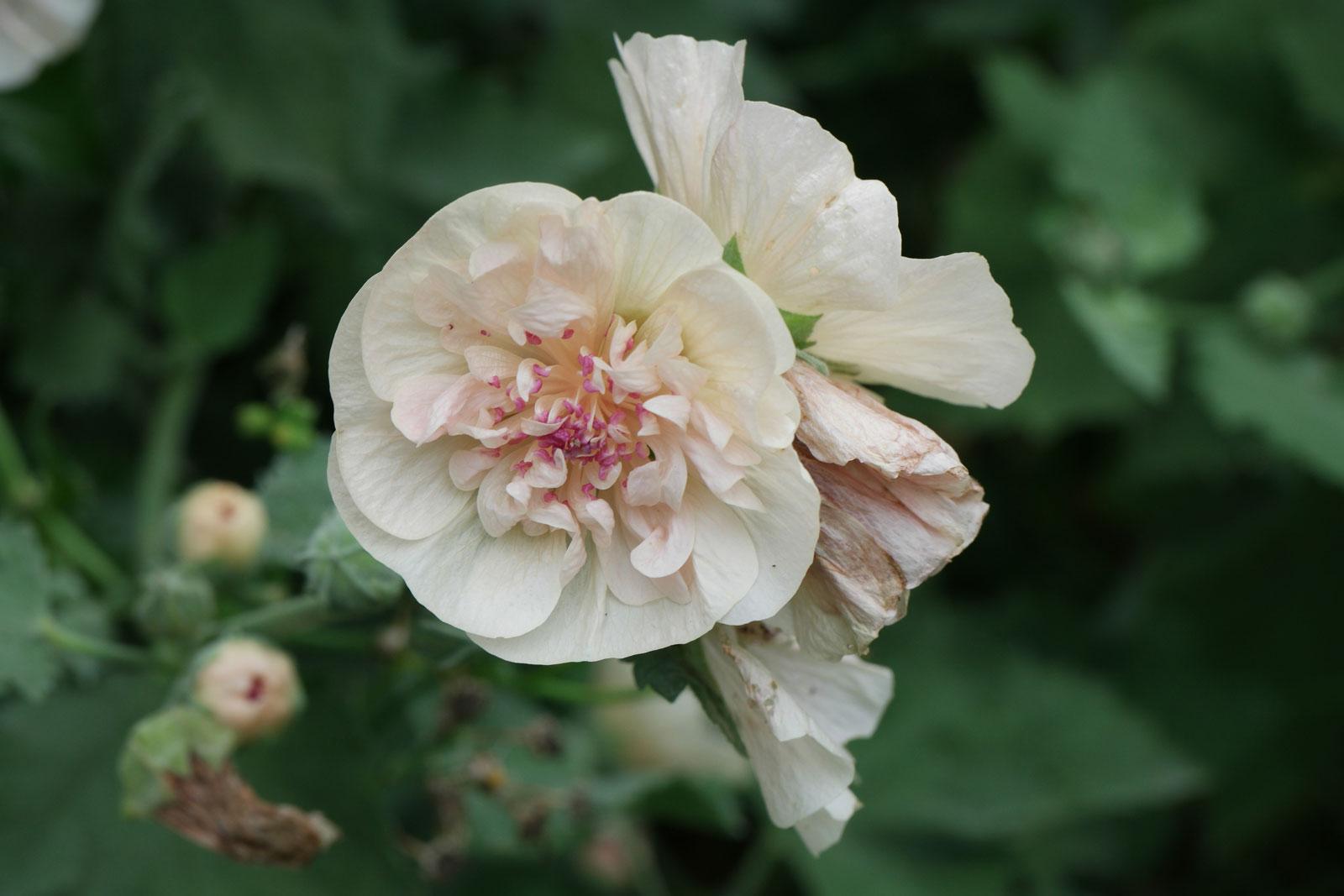alcalthaea-suffrutescens