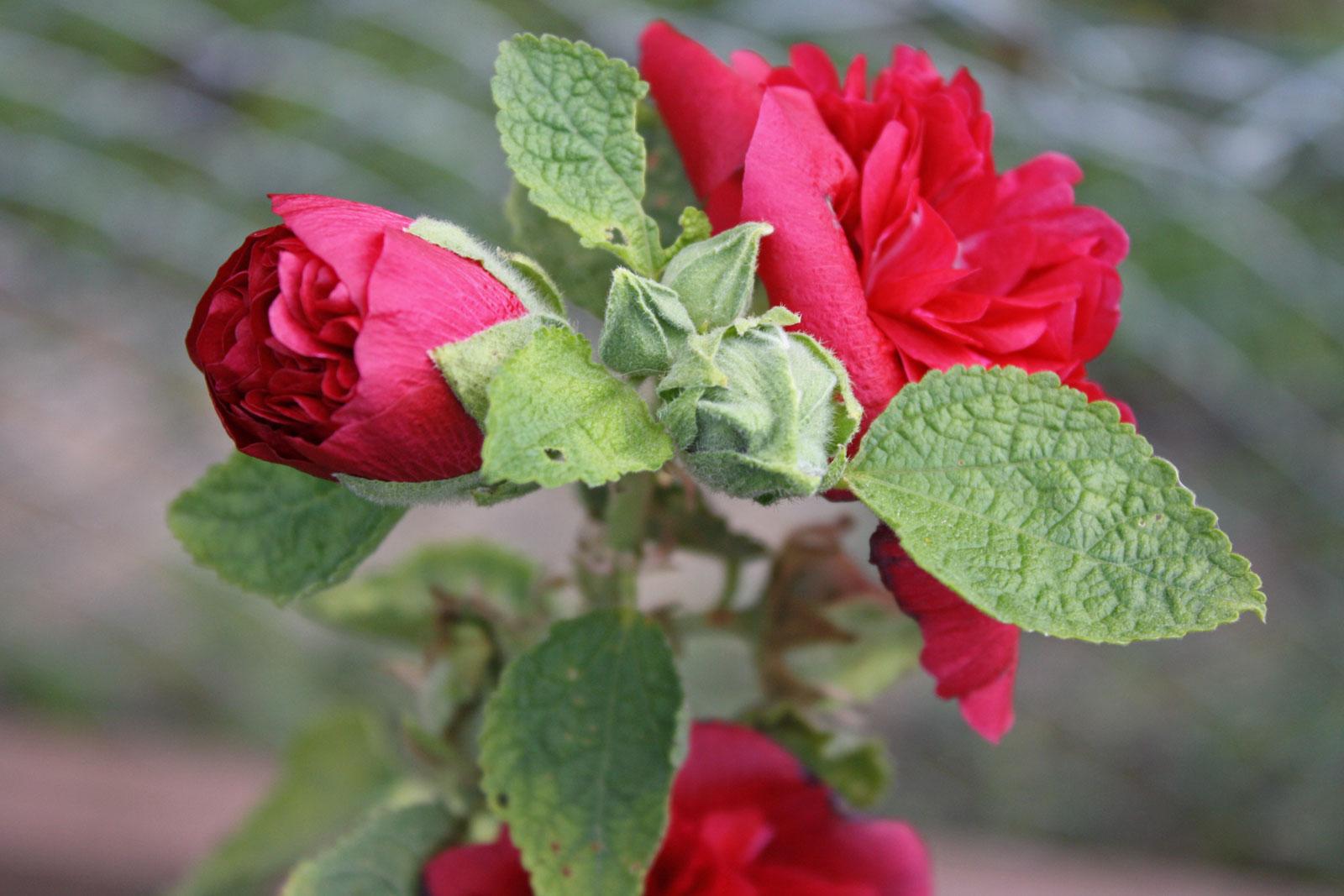 alcea-rosea-4