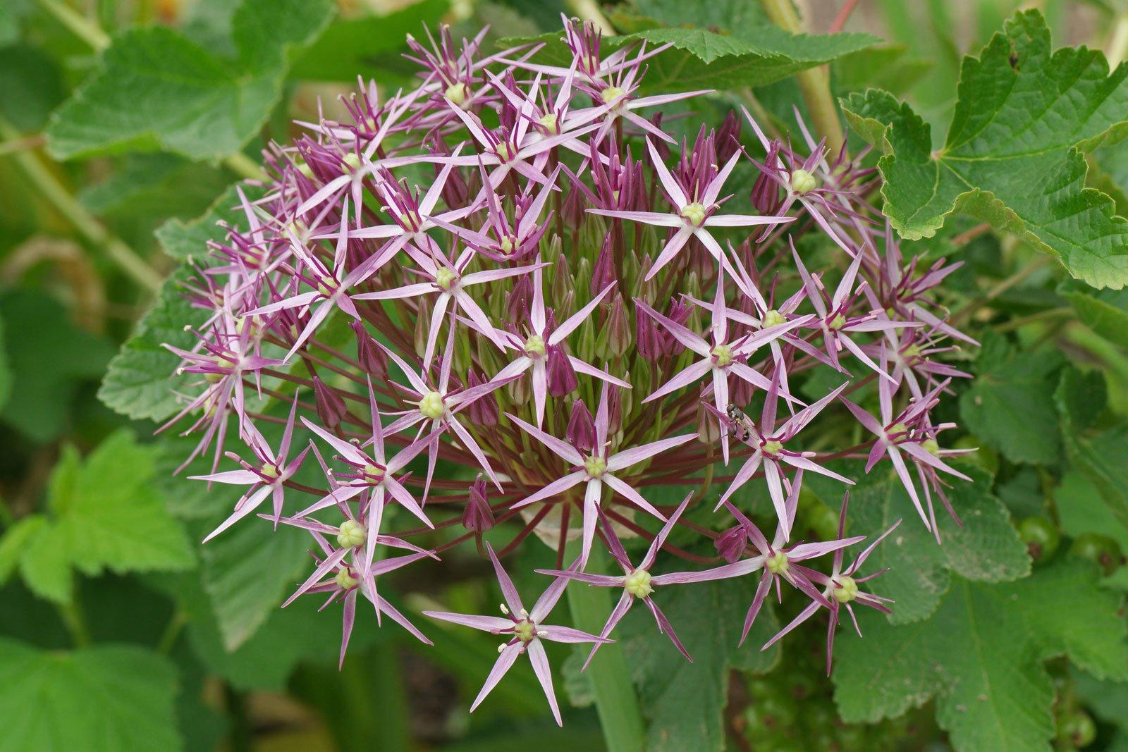Allium cristophii
