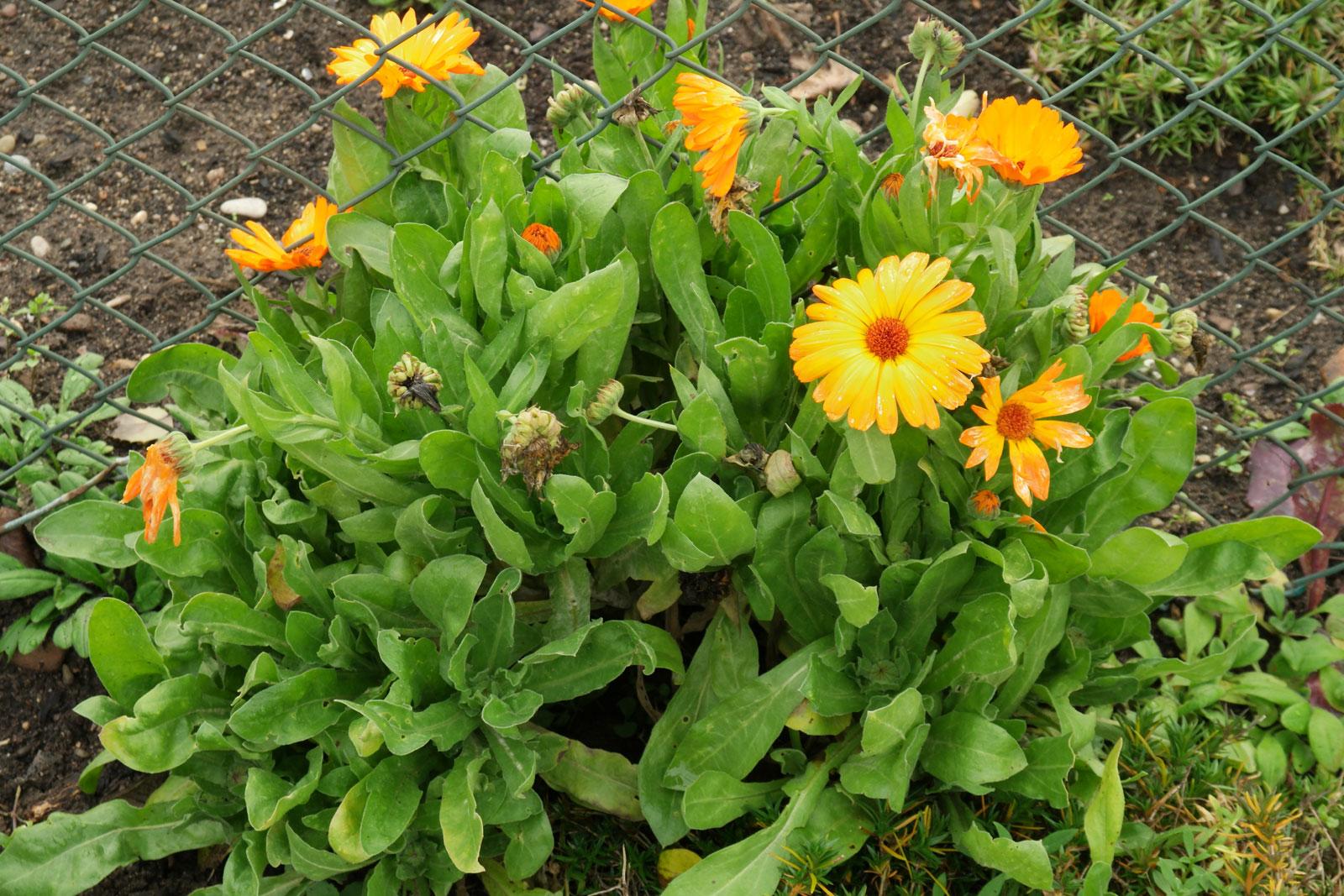 calendula-officinalis-1