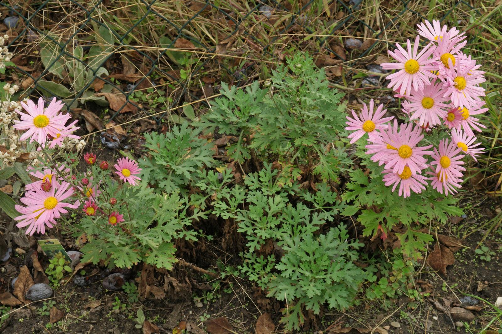 chrysanthemum-zawadskii-1