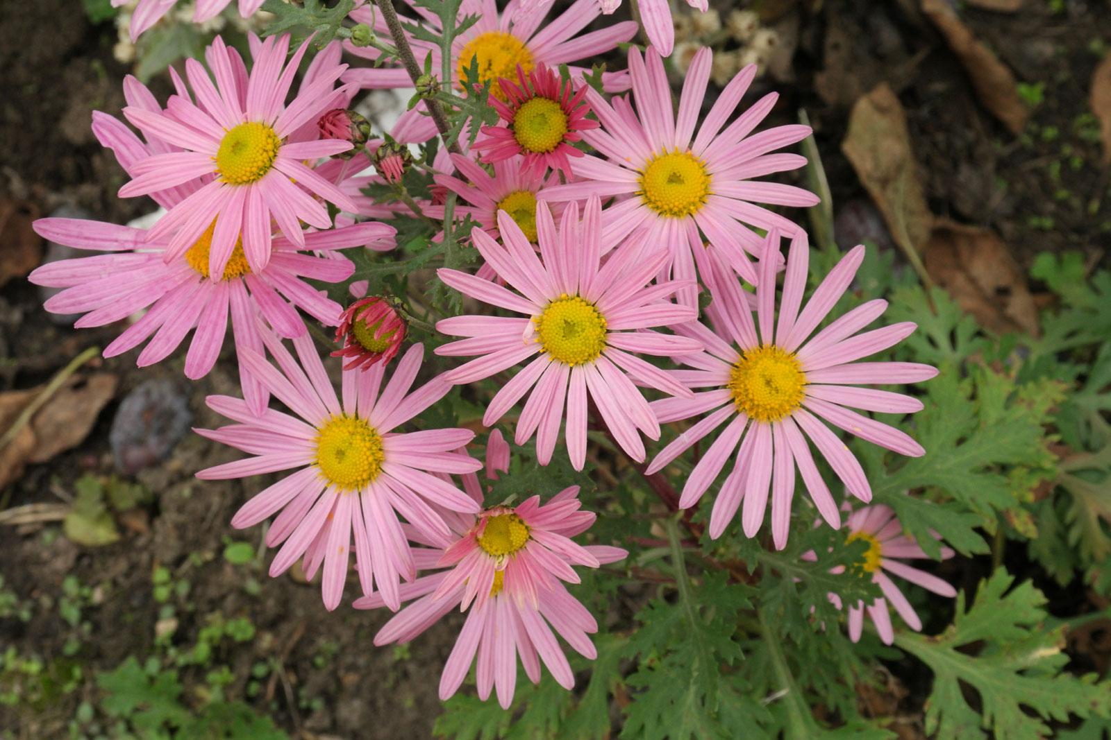 chrysanthemum-zawadskii