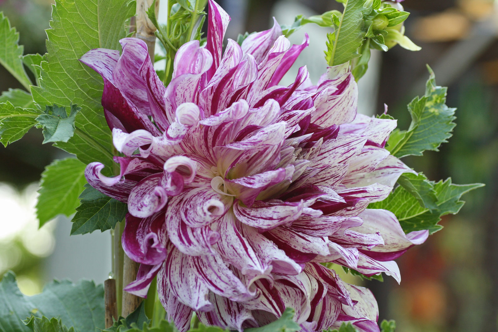 dahlia-hortensis-2