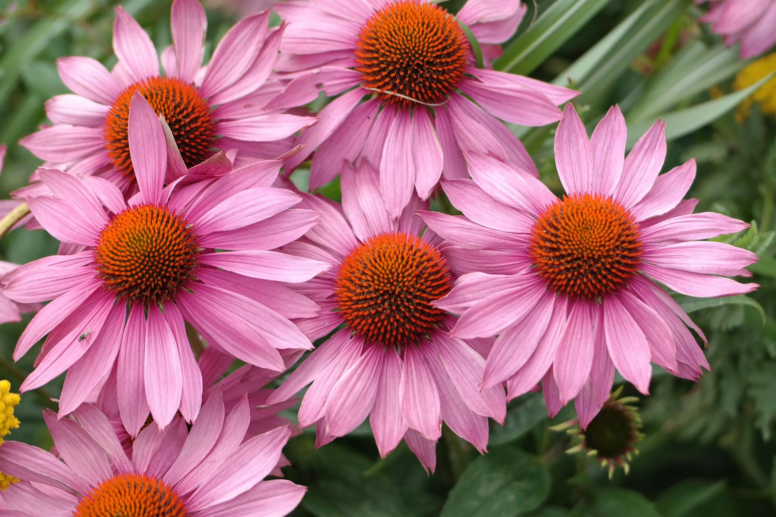 echinacea-purpurea-2
