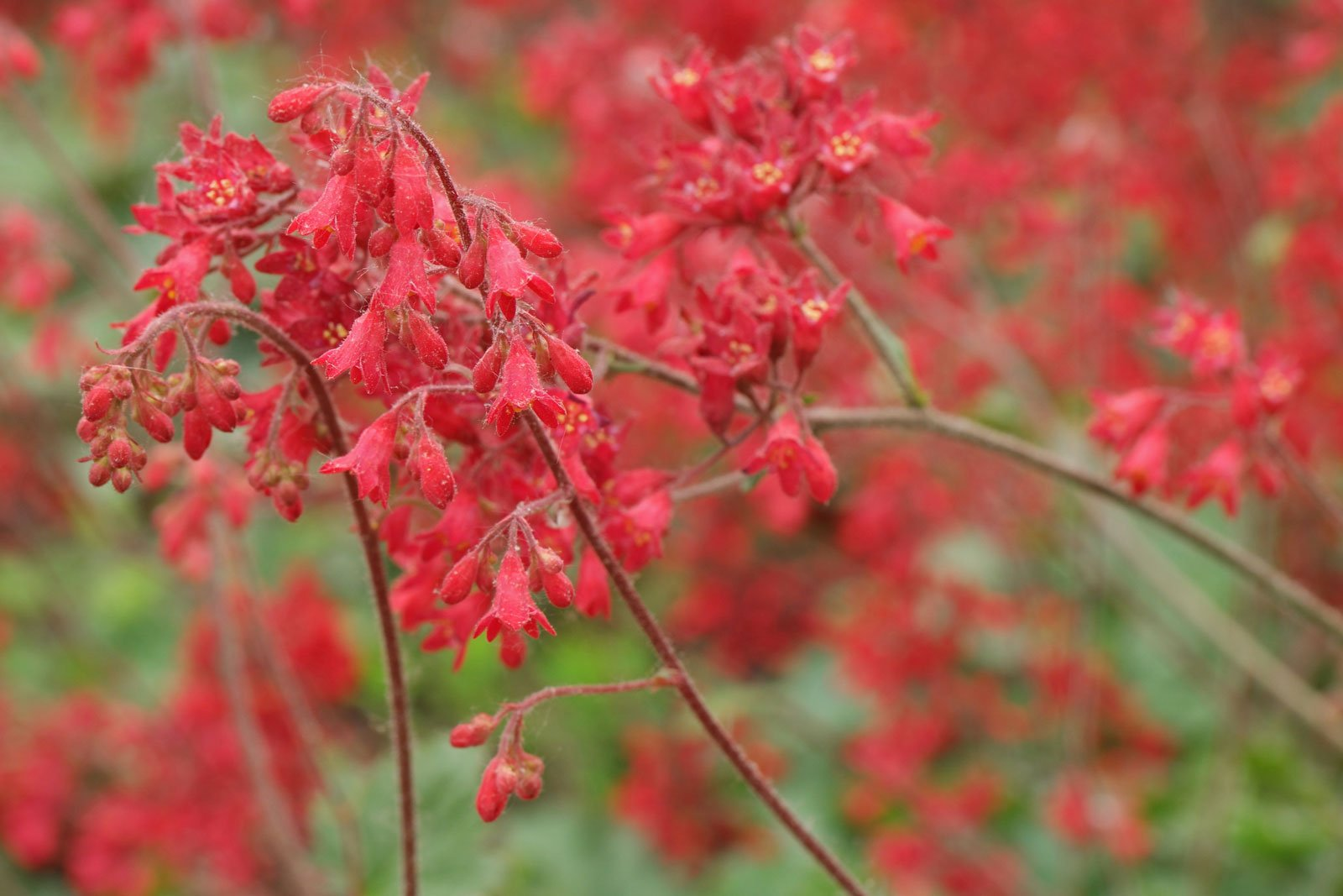 Heuchera × brizoides