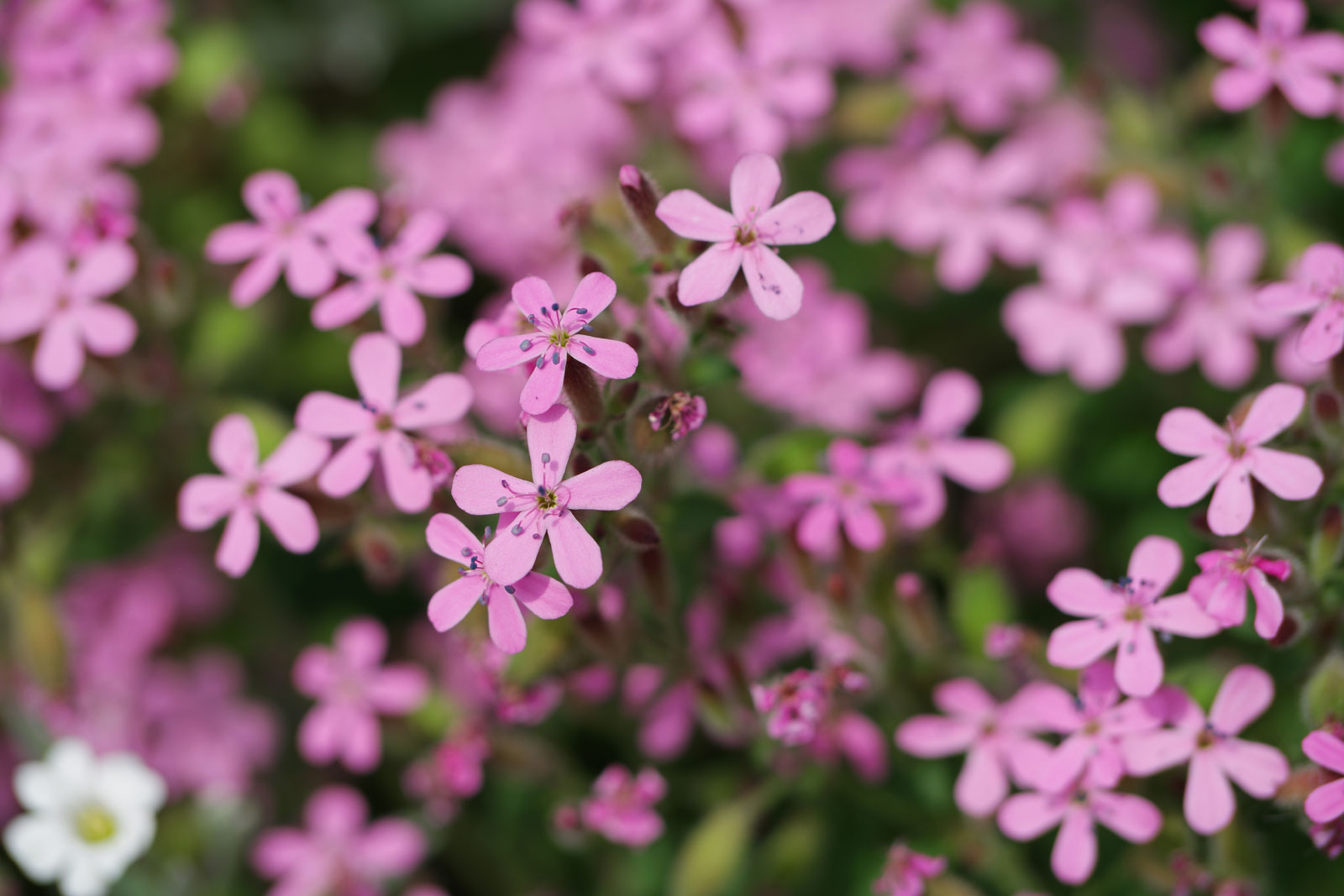 saponaria-ocymoides-3