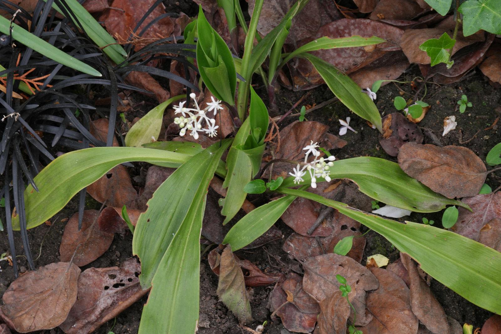 speirantha-gardenii-1