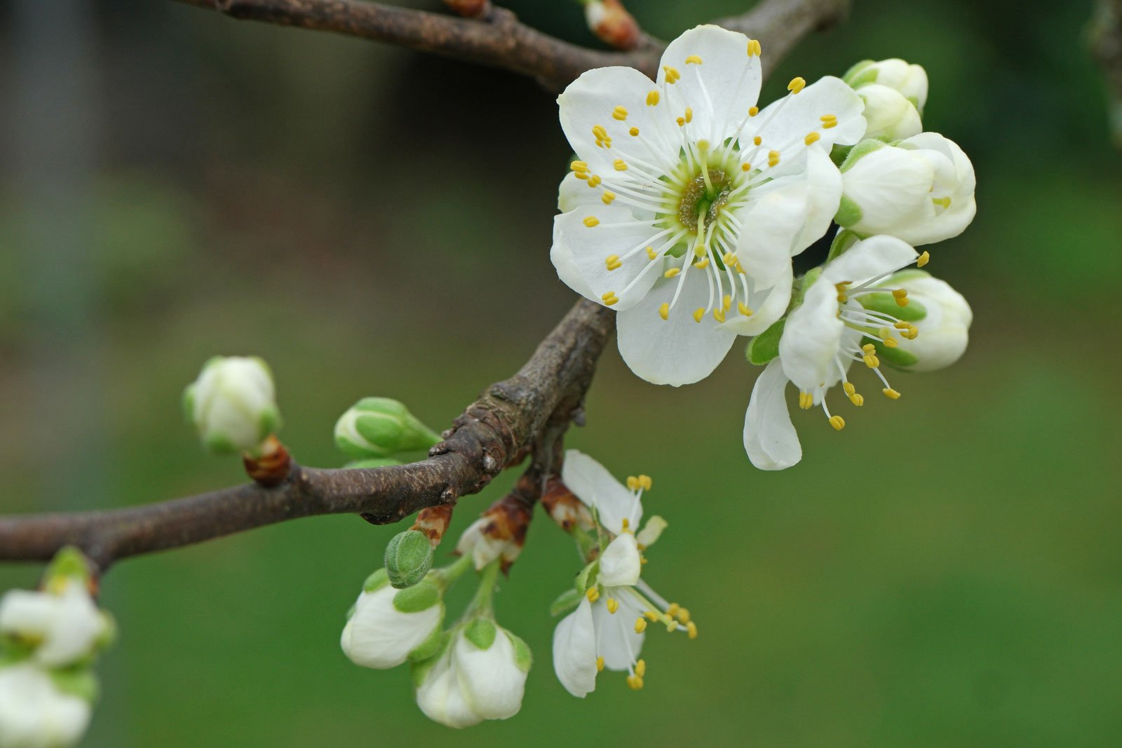 Prunus domestica syriaca