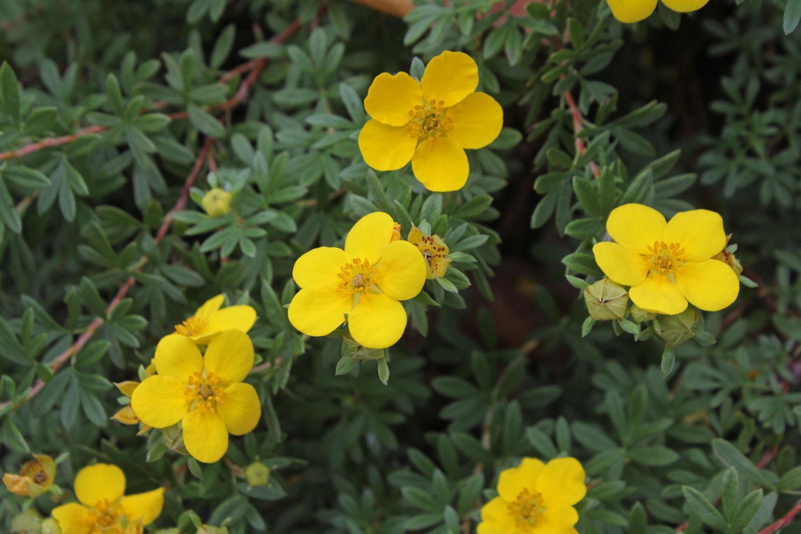 dasiphora-fruticosa-1