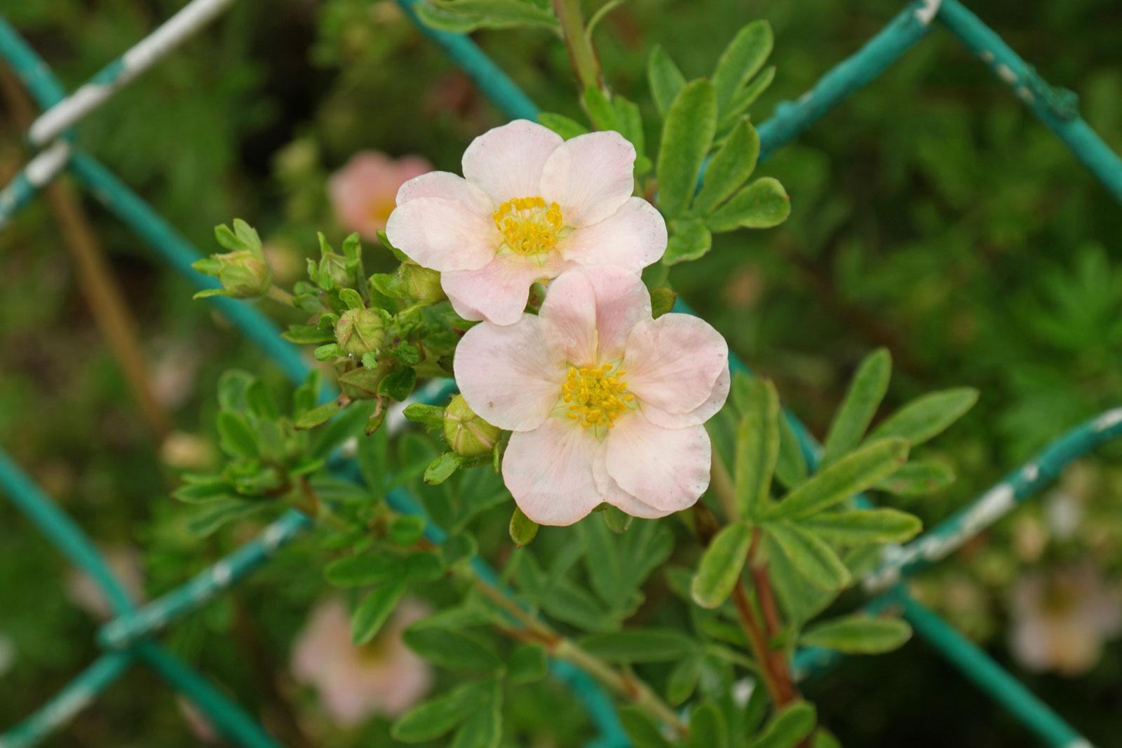 dasiphora-fruticosa-3